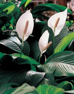 Spathiphyllum - Plante pour le bureau